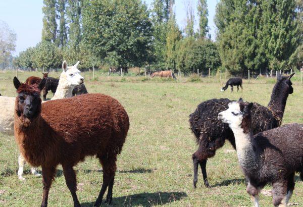 Agronomía UdeC abrirá nueva línea investigativa con alpacas